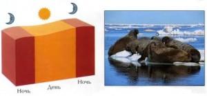 Теплокровные моржи