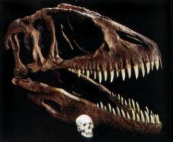 Череп кархародонтозавра и человека