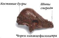 Череп пахицефалозавра