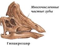 Череп гипакрозавра