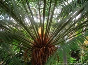 Цикадовые растения