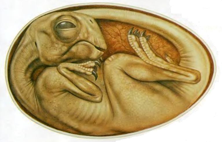 Ембрион овираптора