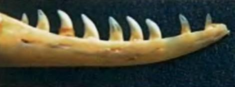 Нижняя челюсть ящерицы