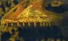 Зубы игуаны