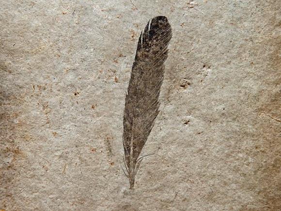 Именно то окаменевшее перо Археоптерикса, с которого началась история пернатых динозавров.