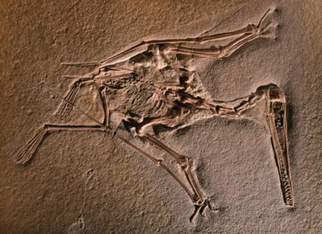 Первые окаменелые остатки птеродактилей известны еще с XVIII века