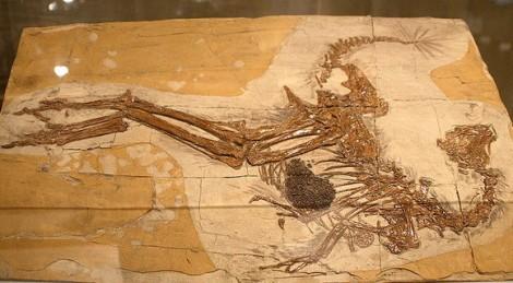 Скелет Каудиптерикса Зои и отпечатки его перьев.